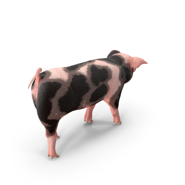 Pig Piglet Pietrain Walking Pose PNG & PSD Images