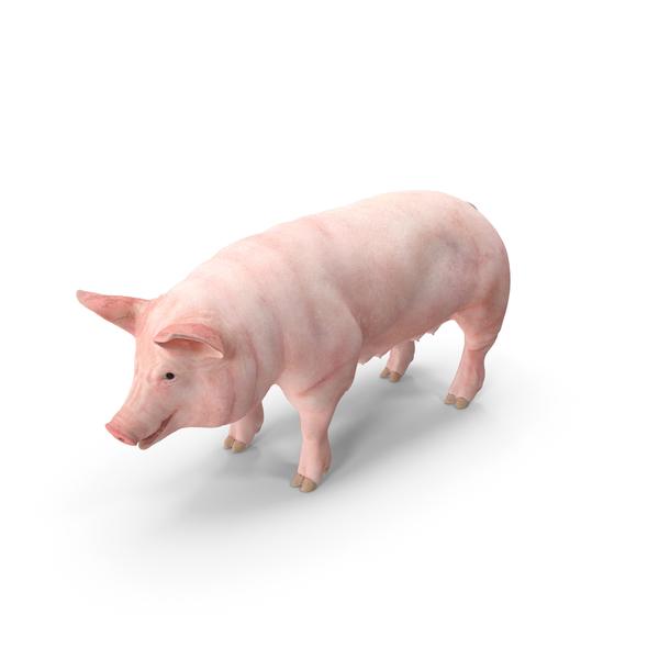 Pig Sow Landrace PNG & PSD Images