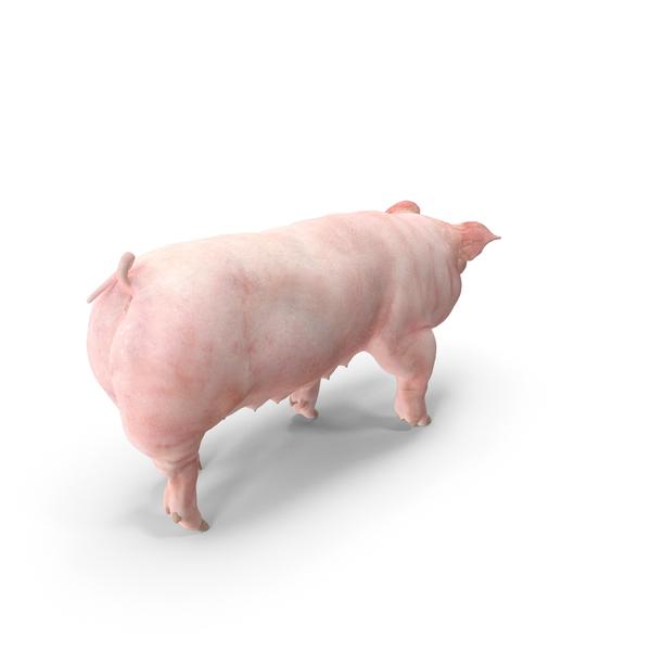 Pig Sow Landrace Walking Pose PNG & PSD Images
