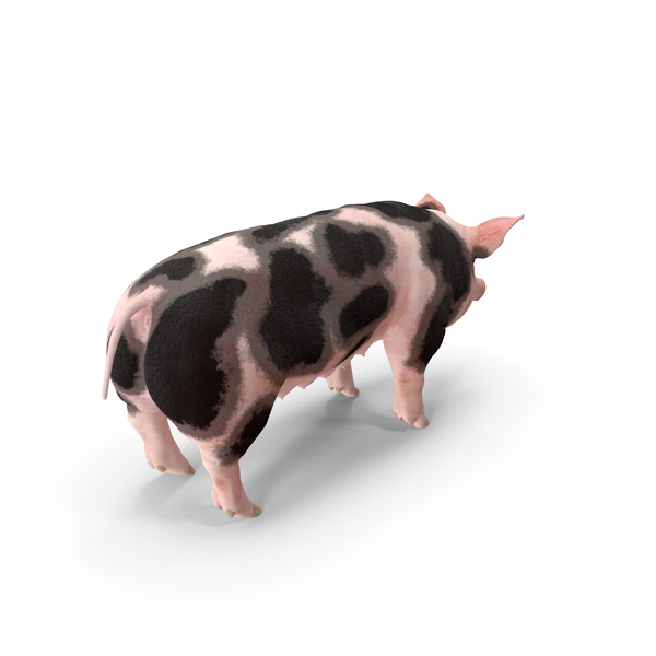 Pig Sow Peitrain PNG & PSD Images