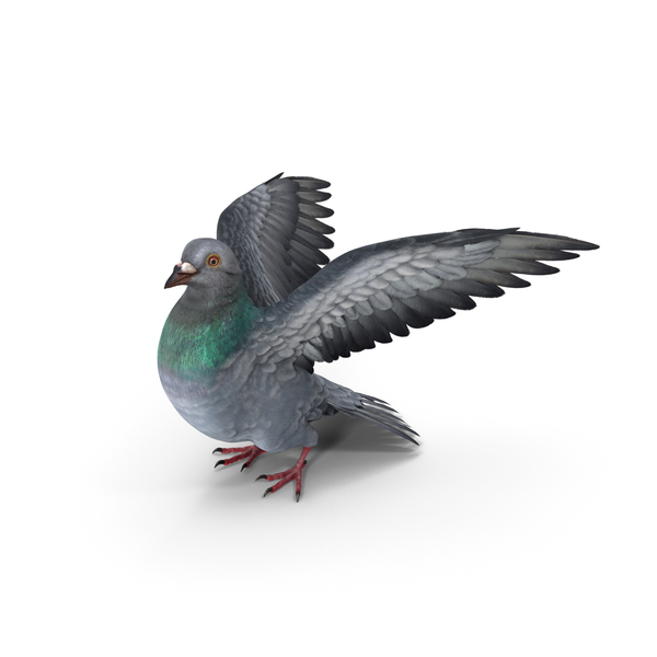 Pigeon PNG & PSD Images