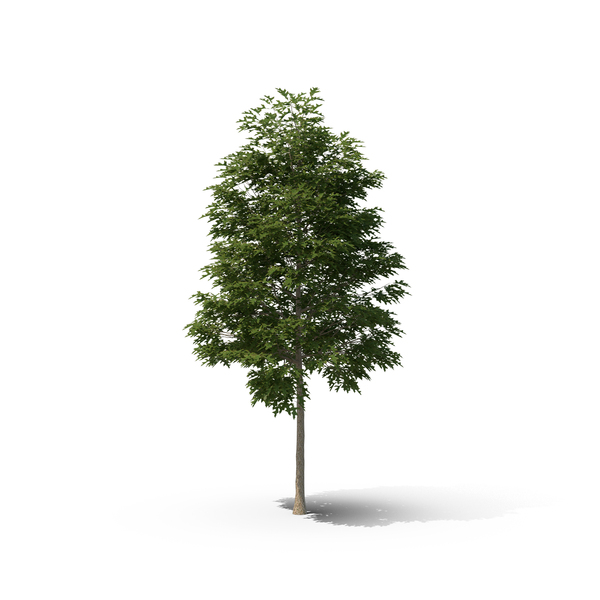 Pin Oak Tree Object
