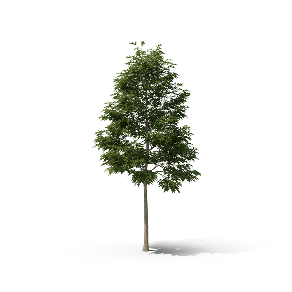 Pin Oak Tree PNG & PSD Images