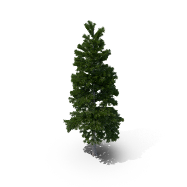 Tree: Pine PNG & PSD Images