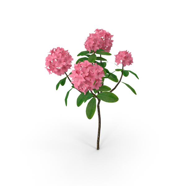 Pink Rhododendron Flowers PNG & PSD Images