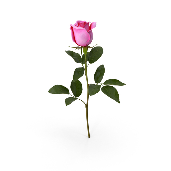 Pink Rose PNG & PSD Images