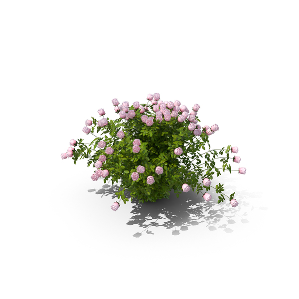 Pink Rose Bush PNG & PSD Images