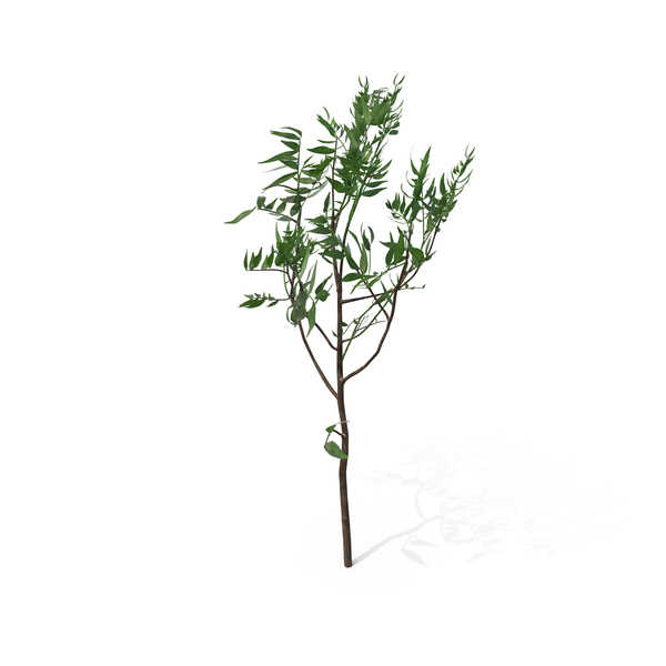 Pistachio Tree PNG & PSD Images