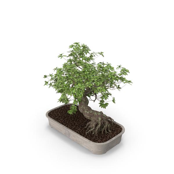 Bonsai Conifer: Plant PNG & PSD Images