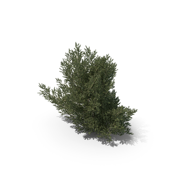 Hawthorn: Plant English Holly PNG & PSD Images