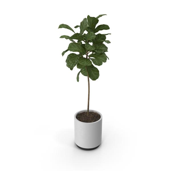 Flower Pot: Plant Ficus Lyrata PNG & PSD Images