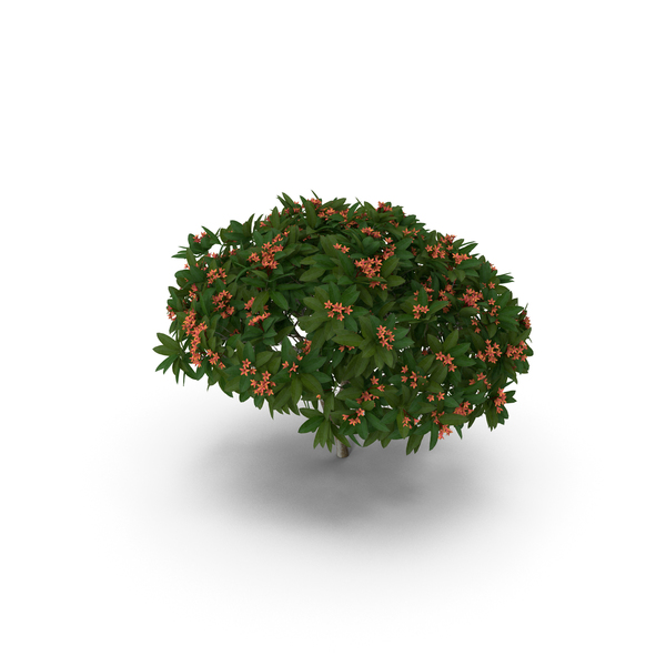 Obtusa: Plumeria Frangipani Tree Red Flowers PNG & PSD Images