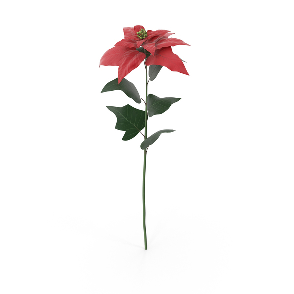 Poinsettia PNG & PSD Images