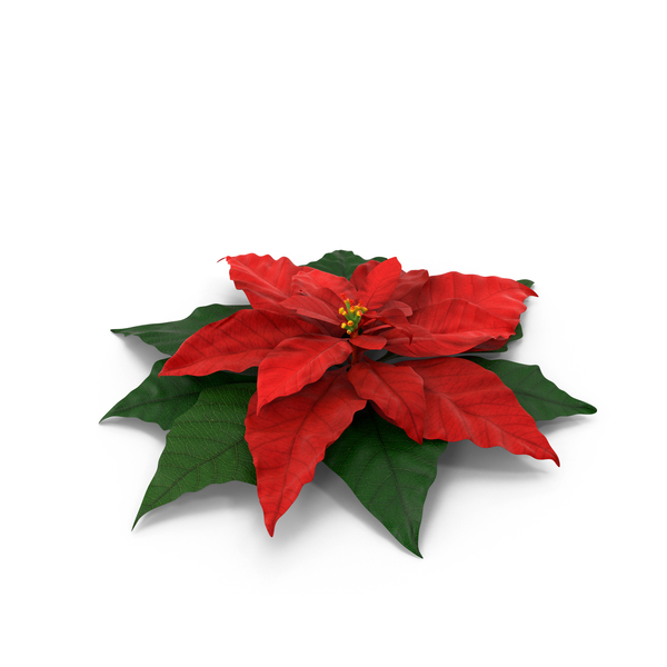 Poinsettia: Pointsettia PNG & PSD Images