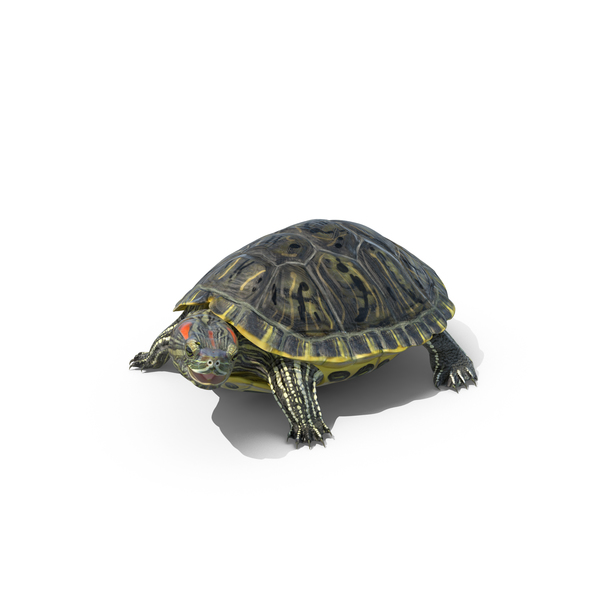 Pond Slider Turtle PNG & PSD Images