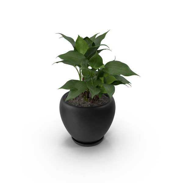 Potted Aglaonema Modestum PNG & PSD Images