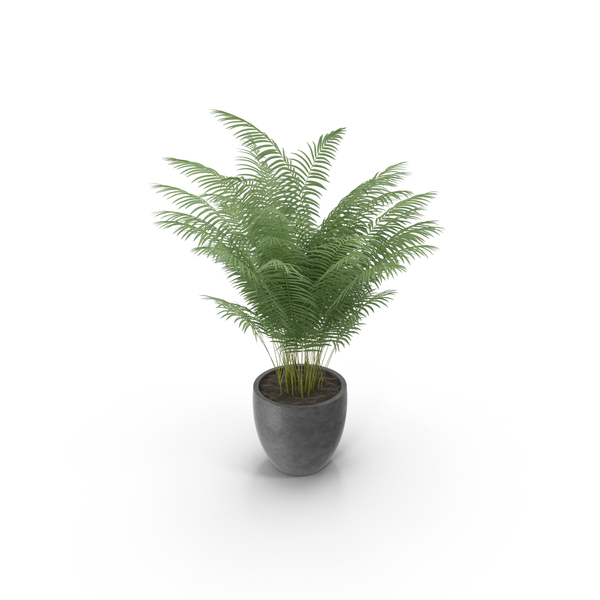 Potted Areca Palm PNG & PSD Images