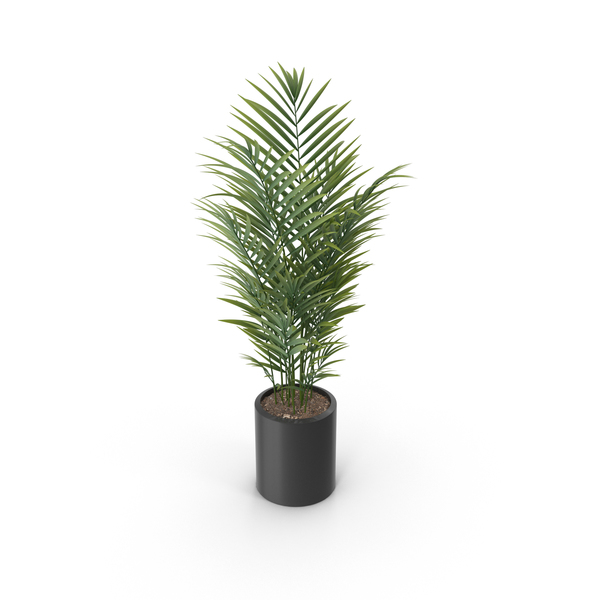 Potted Palm Plant PNG & PSD Images