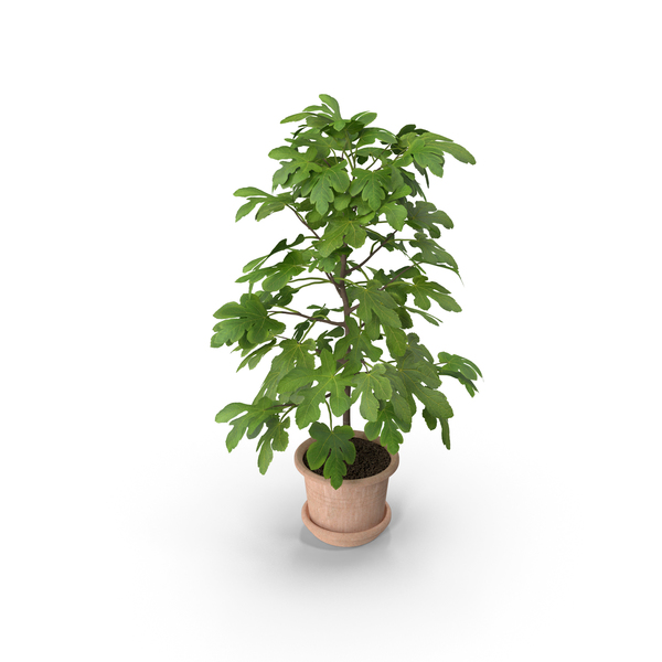 Potted Small Fig Tree PNG & PSD Images