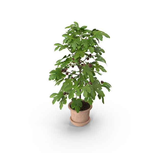 Potted Small Fig Tree with Fruits PNG & PSD Images