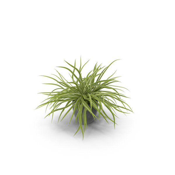 Flower Pot: Potted Spider Plant PNG & PSD Images