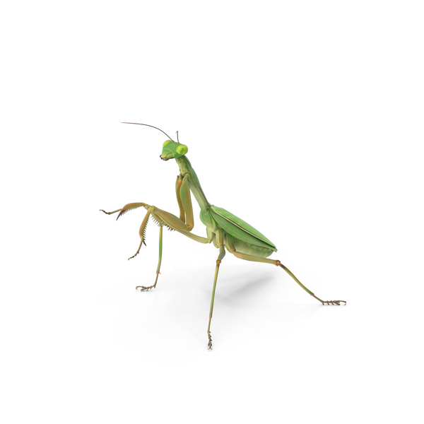 Praying Mantis PNG & PSD Images