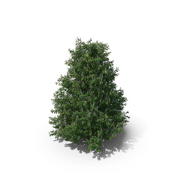 Bush: Prunus Laurocerasus PNG & PSD Images