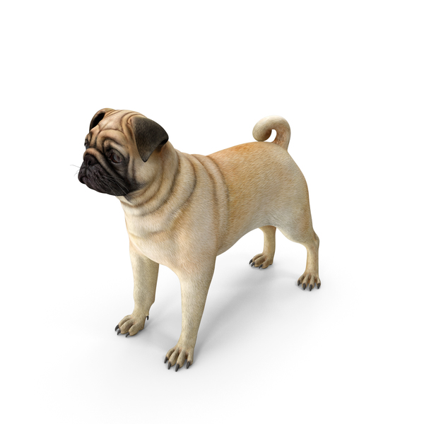 Pug Dog Neutral Pose PNG & PSD Images