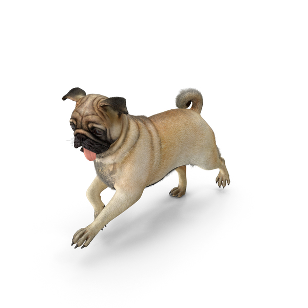 Pug Dog Run Pose Fur PNG & PSD Images