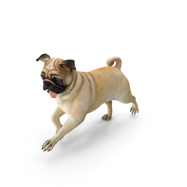 Pug Dog Running Pose PNG & PSD Images