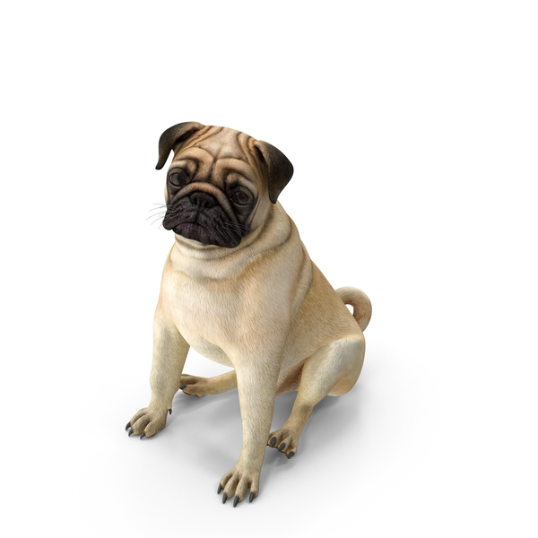 Pug Dog Sitting Pose PNG & PSD Images
