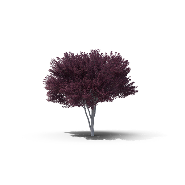 Tree: Purple-Leafed Plum PNG & PSD Images
