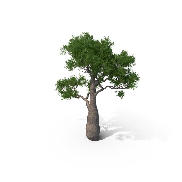 Queensland Bottle Tree PNG & PSD Images