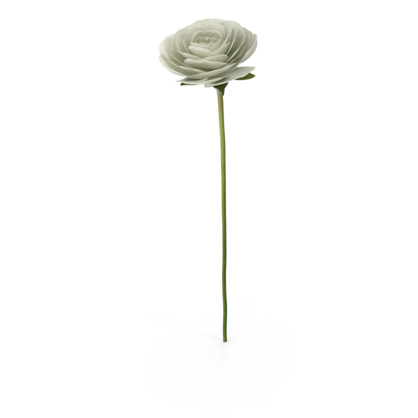 Ranunculus Asiaticus White PNG & PSD Images