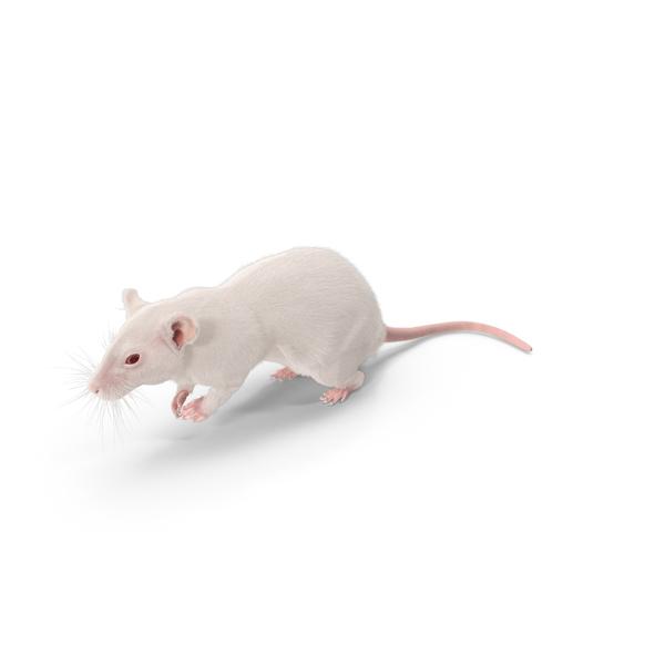 Rat PNG & PSD Images