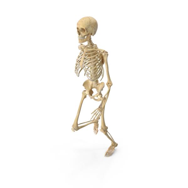 Real Human Female Skeleton Jogging PNG & PSD Images
