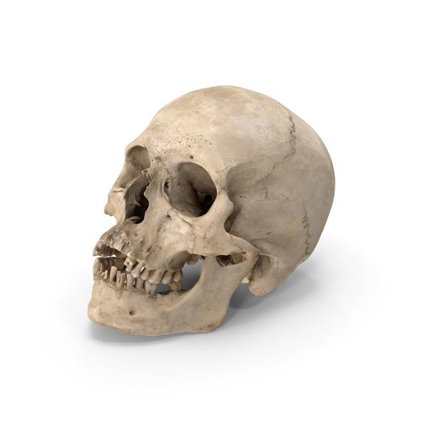 Real Human Skull PNG & PSD Images