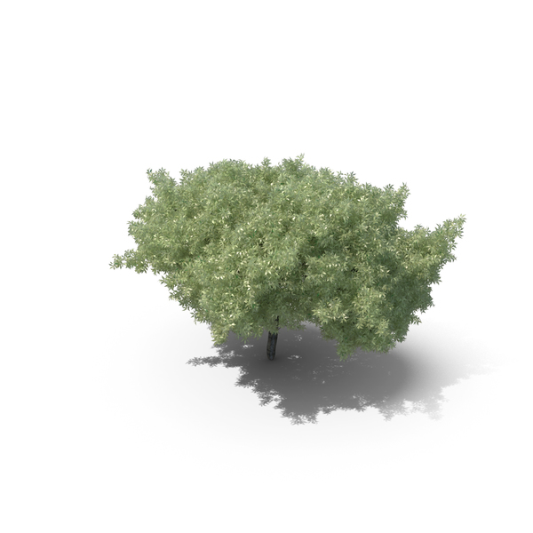 Ash: Realistic Tree PNG & PSD Images