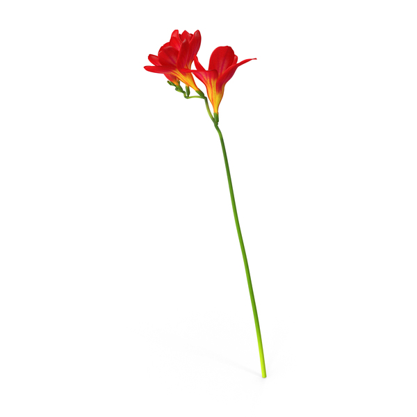 Red Freesia Flower PNG & PSD Images