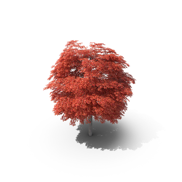 Red Maple Tree PNG & PSD Images