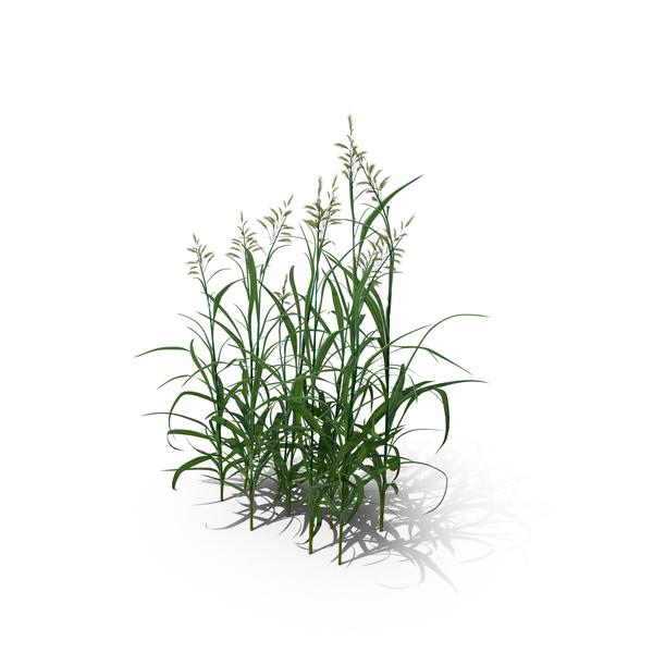Reed Canary Grass (Phalaris Arundinacea) PNG & PSD Images