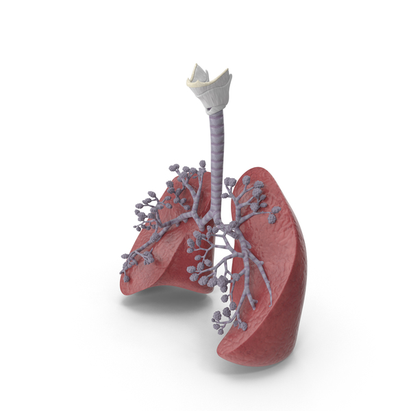 Respiratory System And Alveoli PNG & PSD Images