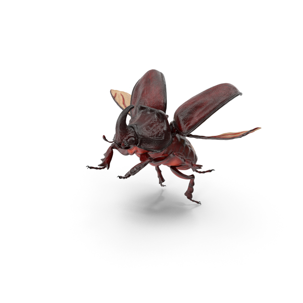 Rhinoceros Beetle Oryctes Nasicornis Flying PNG & PSD Images