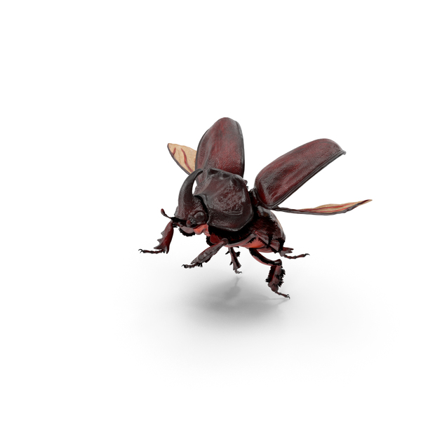 Rhinoceros Beetle Oryctes Nasicornis Flying with Fur PNG & PSD Images