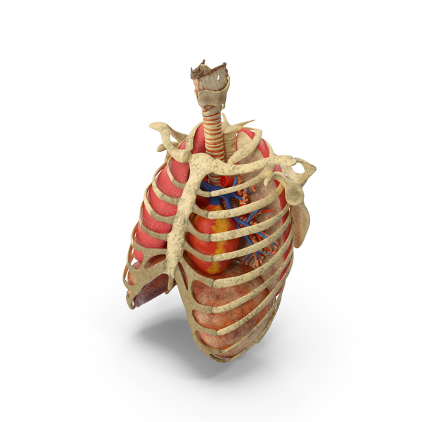 Ribs Trachea Heart Lungs PNG & PSD Images