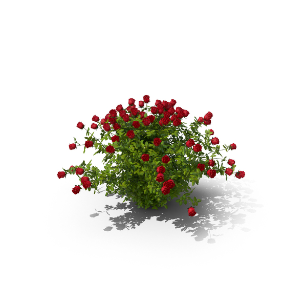 Rose Bush PNG & PSD Images