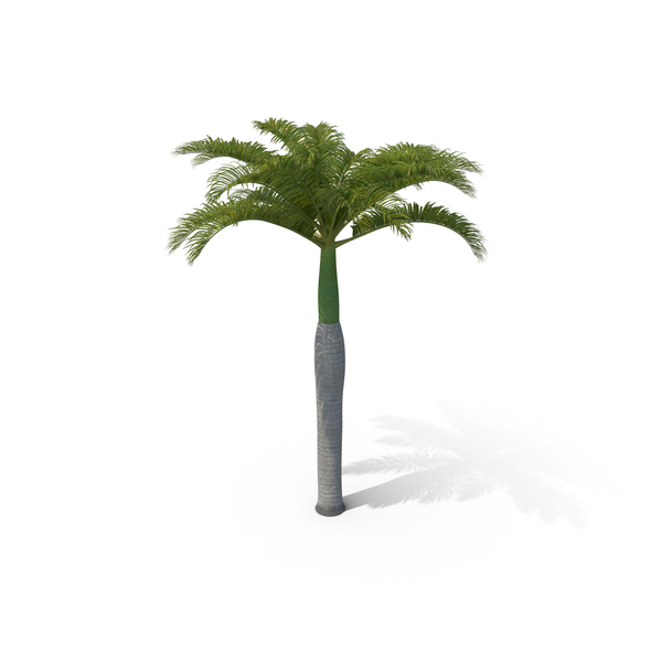Roystonea: Royal Palm PNG & PSD Images