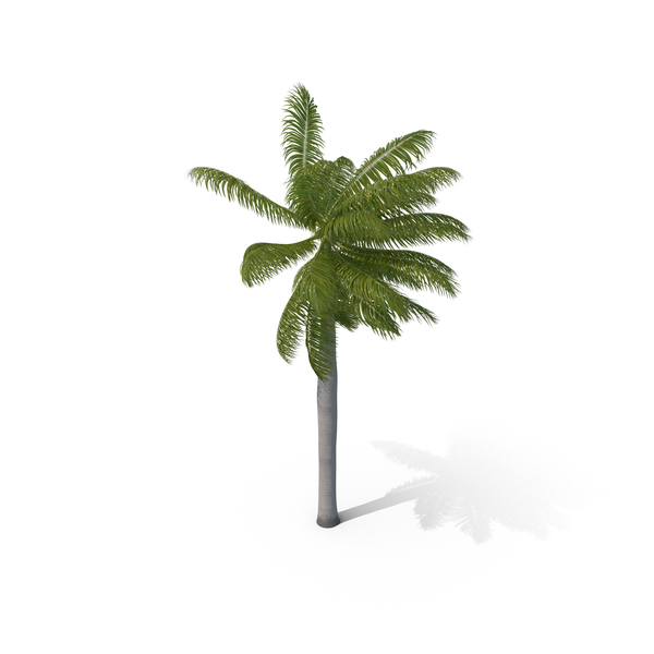 Roystonea: Royal Palm with Moderate Wind PNG & PSD Images