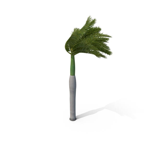 Roystonea: Royal Palm with Strong Wind PNG & PSD Images