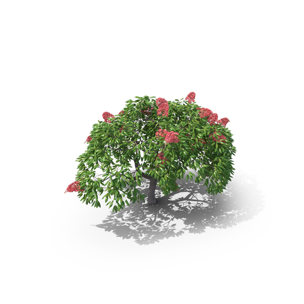 Royal Poinciana Tree PNG & PSD Images